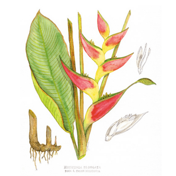 Pink Heliconia Print